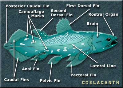 Coelacanth Anatomy